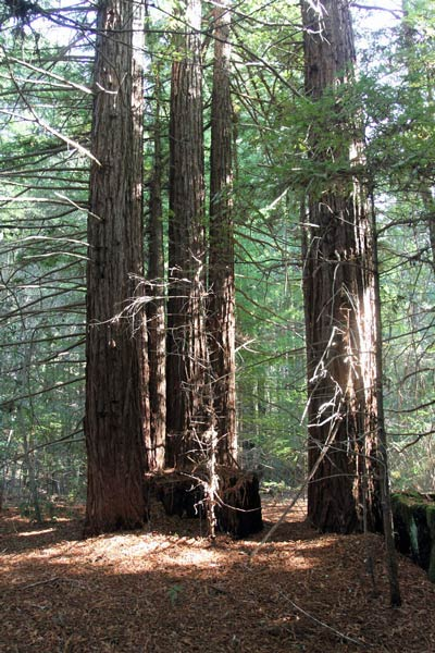 Redwood forest on Artesa Vineyards & Winery's Fairfax property in Annapolis, CA