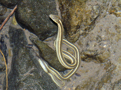 Western Aquatic Garter Snake, photo by Peter Baye