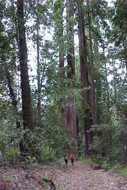 Old growth forest on Haupt Creek, Gualala River watershed