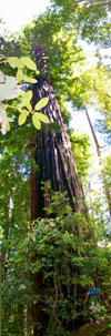 Old growth redwood, North Fork Gualala River